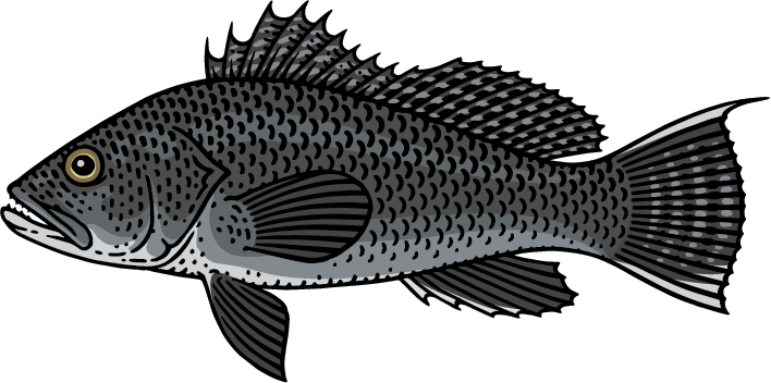 Black Sea Bass Graphic