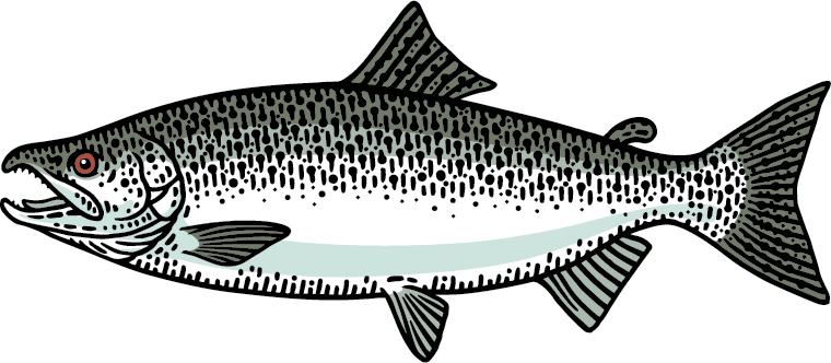 Chinook Salmon Ocean Stage Graphic
