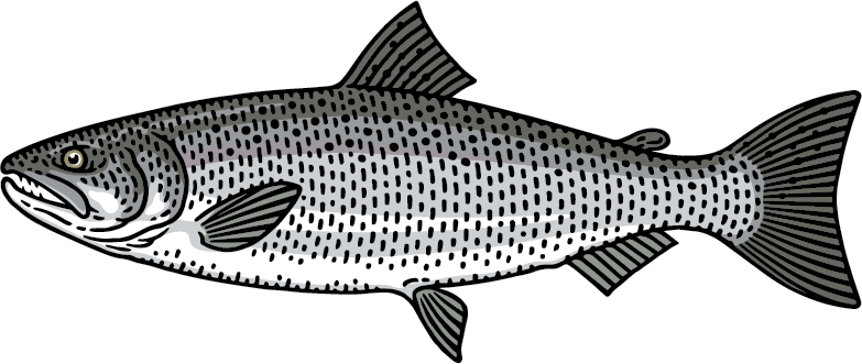 Coho Salmon Ocean Phase Graphic