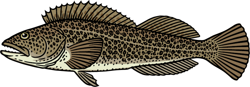 Lingcod Graphic